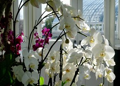 White Orchids In The Sun (Anne Marie Clarke) Tags: backlit sunlight sun greenhouse conservatory newyorkbotanicalgarden bronx orchids white winter 7dwf friday flora