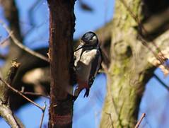 Woodpecker (Jurek.P) Tags: birds bird dzięcioł woodpecker nature natura ptaki ptak warsaw poland jurekp sonya500