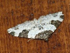 Xanthorhoe fluctuata - Garden carpet - Ларенция обыкновенная (Cossus) Tags: geometridae larentiinae xanthorhoe пестово пяденица 2009