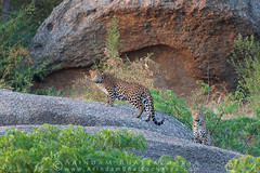 Leopard Cubs !!!! (Arindam.Bhattacharya) Tags: asia bera india indianwildlife nature place rajasthan wildlife indianleopard pantherapardusfusca