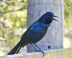 Boat-tailed Grackle (Harry Rother) Tags: wildflorida