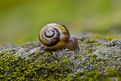small snail - 5 mm in size (Stefan - Pictures) Tags: sigma 105mm d5600 nikon nature green snail macro stacking