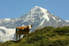 Mountain Cow (EP Diederiks) Tags: switzerland schweiz mountains berg berner oberland bernese cow kuh swiss monch murren lauterbrunnen bern alpen alps alpine natur trail summer sommer hiking wandern glacier snow rock