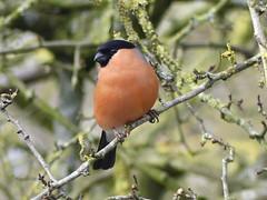 Bullfinch P1580799 (ianpreston) Tags: 2018 cannockchase staffordshire bullfinch