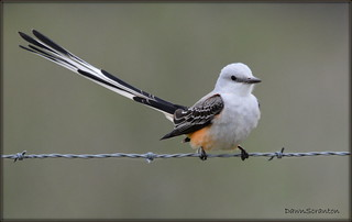 DSC_4141  Scissor-tailed Flycatcher
