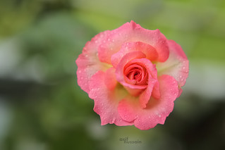 Pink the color of passion (rose)