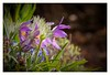 Pasqueflower (Different Aspects) Tags: 7dwf friday flora pasqueflower flower canon70d lightroom