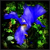Natural Wonder (dimaruss34) Tags: newyork brooklyn dmitriyfomenko image flower iris