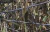 Emberiza schoeniclus, _DSC3644 (Francesc //*//) Tags: repicatalons piuladecanyers piula hortolàdecanyet butzac escribanopalustre commonreedbunting bruantdesroseaux aus aves animal au ave bird birds pájaro pájaros ocell oiseau ocells oiseaux natura naturaleza nature deltadelebre deltadelebro