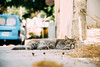 Soft kitty, warm kitty ... (lorenzoviolone) Tags: cat d5200 dof dslr nikon nikond5200 reflex vsco vscofilm kitten sleepy travel:malta=aug2016 ilbirgu malta