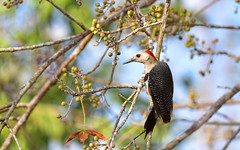Birds 46 (orientalizing) Tags: animals archaeologicalsite birds desktop ekbalam featured goldenfrontedwoodpecker mexico northamerica yucatan