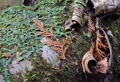 Decaying Birch (peterkelly) Tags: digital canon 6d caledon ontario canada northamerica ontarionature willoughbynaturereserve fall autumn whitebirch log easternwhitecedar leaves dead bark