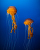 Majestic Jellies (Jeremy Thomas Photography) Tags: majesticjellies majestic jellies beautiful pretty gorgeous stunning amazing whoa wow cool light lights lighting color colors colorful jelly jellyfish aquariumofthepacific longbeach canon eos 5 5dmarkiii 2 two dslr hd high def definition raw lightroom 3 full frame digital exposure prime fixed ef 35mm 35 l f14 usm lens wide angle bokeh dof quality fijizzle sharp portrait fov