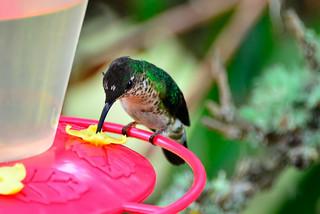 Горный колибри, Lafresnaya lafresnayi saul, Mountain Velvetbreast
