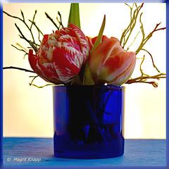 Blaue Vase mit Tulpen (magritknapp) Tags: blauesteelichtglas tulpen blaubeerzweige glitzergummi bluetealightglass tulips blueberry twigs glittering rubber tulipes brindilles de myrtilles brillantes caoutchouc scintillant vasoportacandelitasazul tulipanes ramitas arándanos con goma brillante azultealightglass tulipas mirtilo galhos brilhante tulipanivetro blu tealightramoscellidimirtilloscintillantegommablauw theelicht glastulpenbosbessentwijgenglinsterendblå tealight glastulpanerblåbärgummitulipanerblåbærkvisteglittendetyggegummitulipanyblue glass gałązki borówki amerykańskiej błyszczące gumą macro