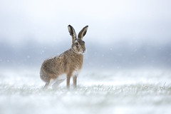 Brown Hare (Daniel Trim) Tags: brown hare mammal farmland arable bedfordshire boxing mad march snow snowing lepus europaeus winter cold