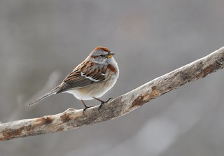 Eastern Tree Sparrow