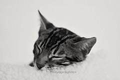 B&W 64/365 (lucyrogersphotography) Tags: pedigreecat bengalcat bengal beautiful cat modelcat blackandwhite kitten bengalkitten