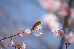 _DSC0848.jpg (plasticskin2001) Tags: mejiro sakura flower bird