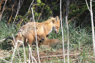 Red Fox mom and Kits