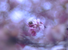 one of them in fluffy (Tomo M) Tags: kawazucherryblossoms spring bokeh trioplan pink 河津桜 blur branch nature 松田山