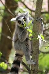 Maki catta (Passion Animaux & Photos) Tags: lemurien maki catta ringtailed lemur lemurcatta parc animalier saintecroix france