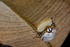 Augocoris sp (juan.sangiovanni) Tags: scutellerinae augocoris illustris scutelleridae bug pentatomoidea pentatómido hemípteros