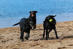 Bramble, Coco and Ziva, Hive Beach, Burton Bradstock, Dorset (Kev Slade Too) Tags: bramble coco ziva hivebeach burtonbradstock dorset nationaltrust