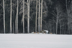 Deers at the edge of a forest (mirri_inc) Tags: deer animal nature landscape winter