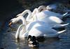 Dancing Swans (judy dean) Tags: 2018 birds rspb slimbridge judydean swans dancing