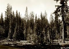 Anglų lietuvių žodynas. Žodis lodgepole pine reiškia lodgepole pušis lietuviškai.