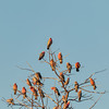 Galah (Eolophus roseicapillus) (Arturo Nahum) Tags: australia aves animal arturonahum ave airelibre birdwatcher bird birds wildflife wild nature naturaleza naturephotography pajaro pajaros