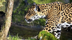 Jaguar_3 (Rolf Piepenbring) Tags: jaguar zookrefeld krefeld