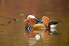 Mandarin Drake (Rob Blight) Tags: mandarindrake mandarinduck waterfowl mandarin duck cute colourful beautiful elegant wild wildlife animal bird fauna outdoors pond richmondpark london nikond850 d850 200500 200500mm