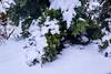 So this is Spring ? (rustyruth1959) Tags: nikon nikond5600 tamron16300mm uk england yorkshire calderdale ripponden home windowview garden spring snow tree conifer springsnow pine needles cold takeaim