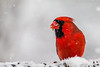 Crazy as the birds (langdon10) Tags: bird canada canon70d cardinal novascotia cold outdoors snow winter