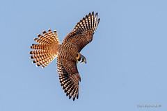 Kestrel - full flair (Earl Reinink) Tags: falcon kestrel raptor hawk bird animal americankestrel sky earl reinink earlreinink zttaeaudra