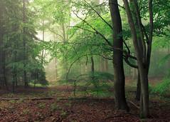 Spring Anticipation (Netsrak) Tags: baum eu europa europe landschaft natur nebel wald fog landscape mist nature tree trees woods bäume forest eifel rheinbach nordrheinwestfalen deutschland de
