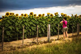 The photographer & the sunflower field