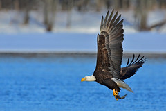 BaldieAdultFishing2 (Rich Mayer Photography) Tags: bald eagle eagles bird birds avian fly flying flight animal animals nature raptor raptors wild life wildlife nikon