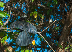 Ani à bec lisse/Crotophaga ani -81530 (michel paquin2011) Tags: rouge ani bec lisse manzanillo cuba