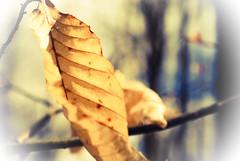 Old leaf (annablepatrick) Tags: nature macro nikon leaf old crinkly woods forest stick sticks wood walk hike starkey hill