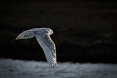 Snowy Owl (rich0234) Tags: nature snowyowl forsythewildliferefuge