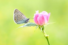 One Way or Another... (Zbyszek Walkiewicz) Tags: butterflies butterfly sony closeup coth5