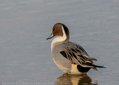 Pintail  'Z' for zoom (hunt.keith27) Tags: slightly bigger than mallard these longnecked smallheaded ducks fly with curved back pointed wings tapering tail pintail is quarry species meaning that it can be legally shot winter northernpintail anasacuta bird animal sky