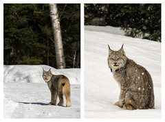 'The Visitor' in two parts. (Canadapt) Tags: lynx diptych snow winter backyard keefer canadapt lynxrufus