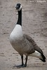 Kanadagans / Canada Goose (R.O. - Fotografie) Tags: kanadagans gans canada goose wasservogel waterbird closeup close up nahaufnahme outdoor paderborn fischteiche rofotografie animal tier vogel bird panasonic lumix dmcfz1000 dmc fz1000 fz 1000