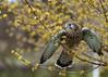Kestral (Ruth S Hart) Tags: goingdigital tutor cressingbarns essex edenfalconry nikon d700 bird raptor spring wildlife kestral pippin portrait composition ruleofthirds ©ruthshart
