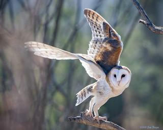 Barn Owl (Tyto alba) during Raptor Free Flight at Arizona-Sonora Desert Museum
