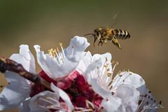 Stationnaire...! - Stationary...! (minelflojor) Tags: abeille butine fleur arbre macro bokeh pistil anthère flou ailes pétale branche pollen patte bee blossom blurry flower petal leg